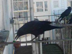 corvo regali