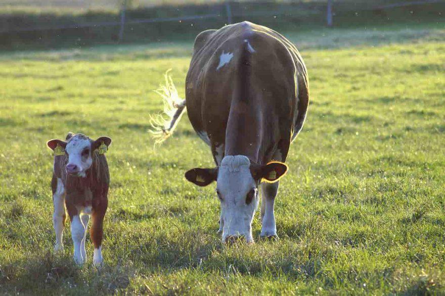 mucca e vitello