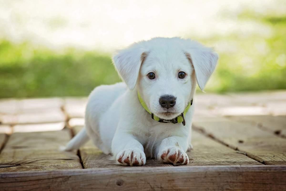 Fino a che età può crescere il cane: tabella età e razze (foto Pixabay)