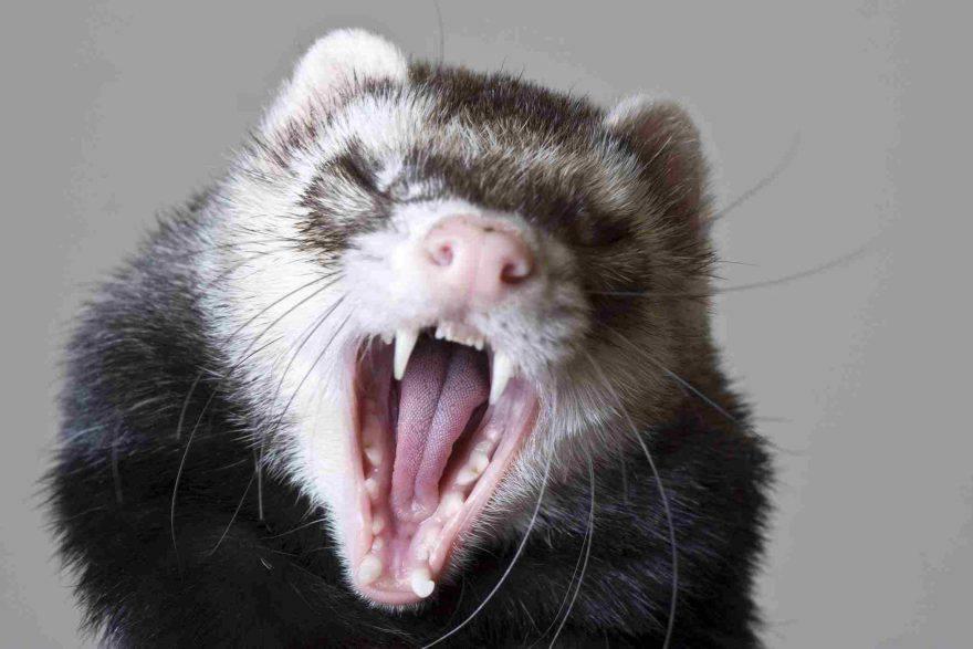 denti del furetto