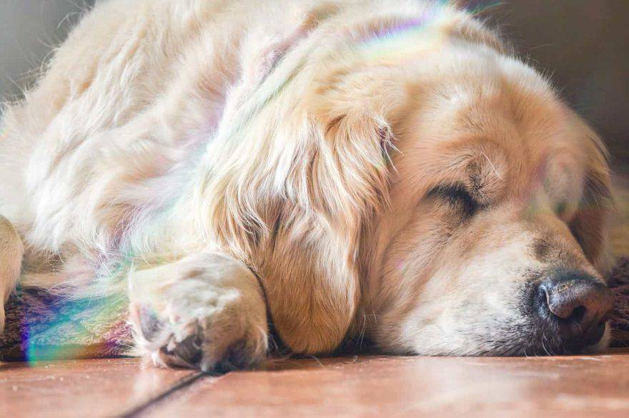 cane piange mentre dorme