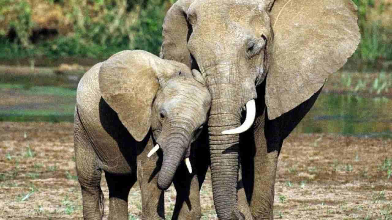 commercio elefanti
