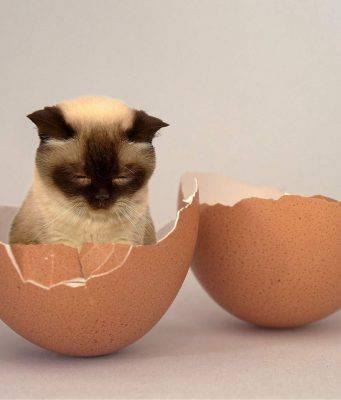 gatto uova