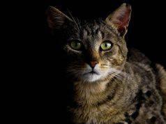 Cosa fanno i gatti di notte? Ecco tutta la verità (foto Pixabay)