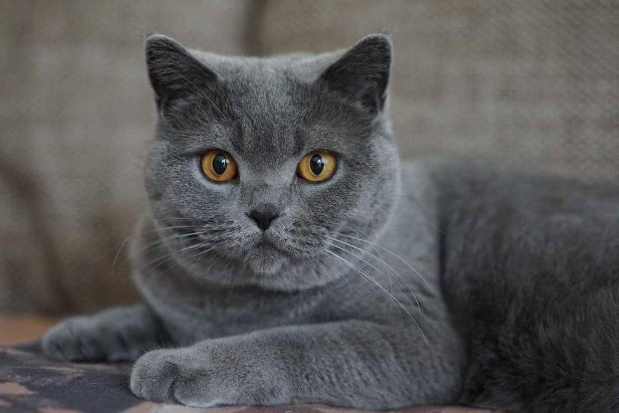 gatto grigio (foto Pixabay)