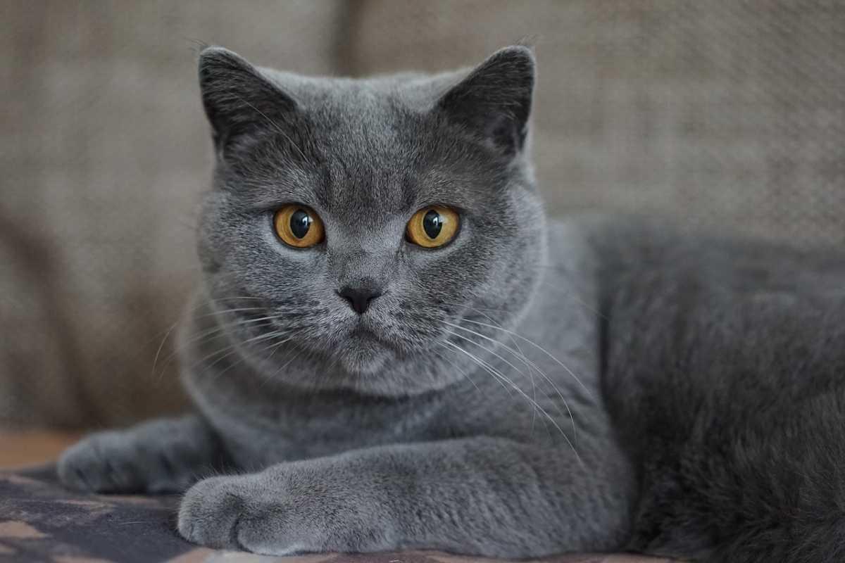 Nomi per gatti grigi (Foto Pixabay)