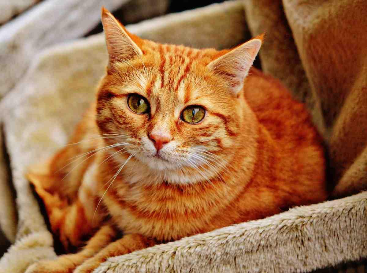 Gatto rosso caratteristiche e curiosità