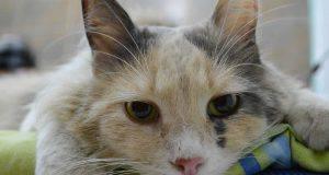 gatto_artrite