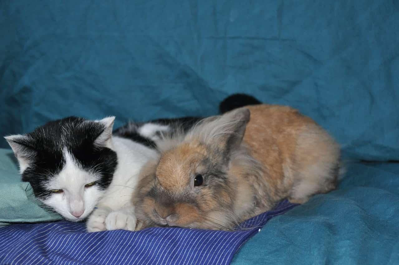 Convivenza gatto coniglio