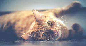 gatto pupille