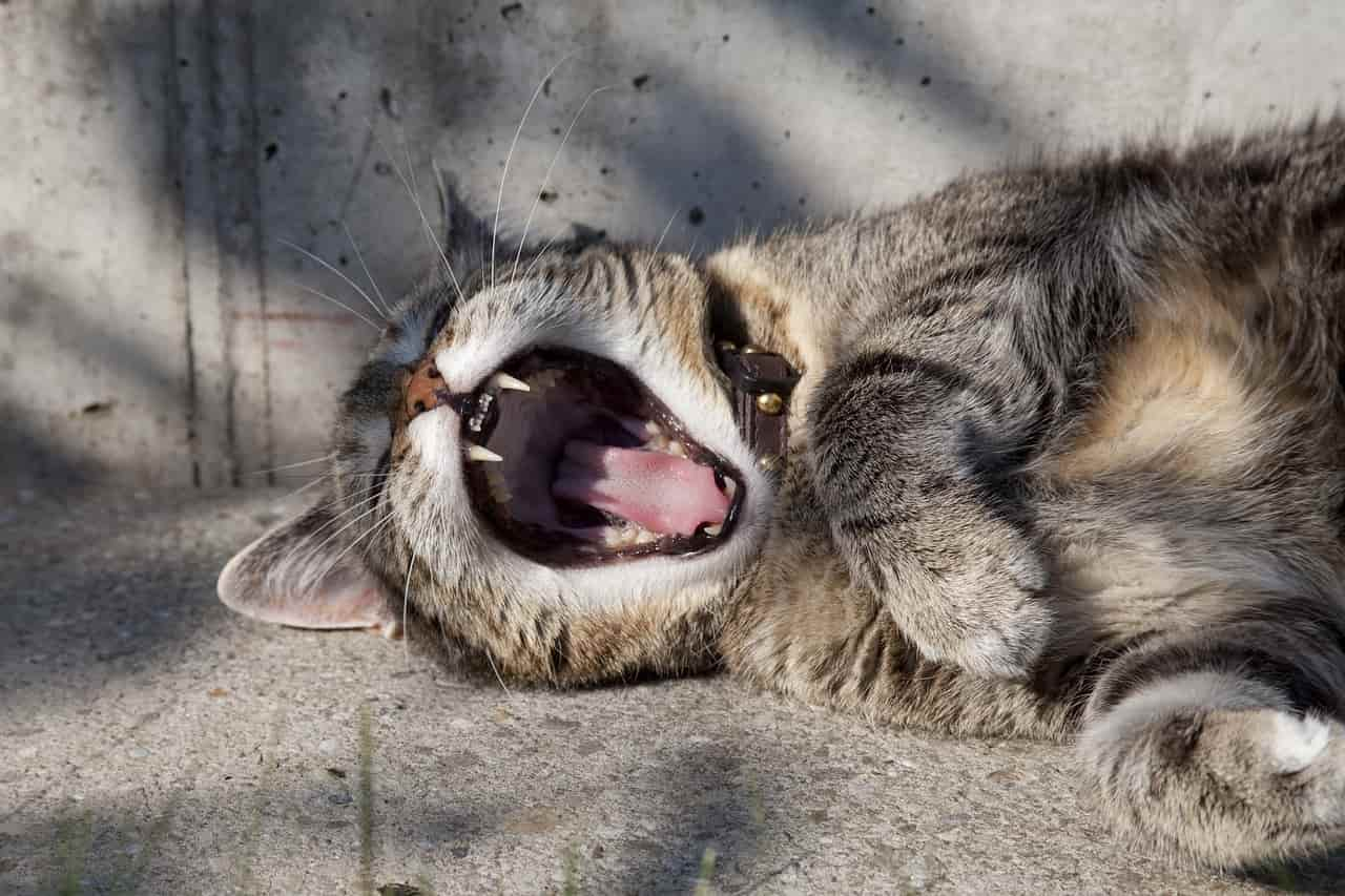 respirazione gatto
