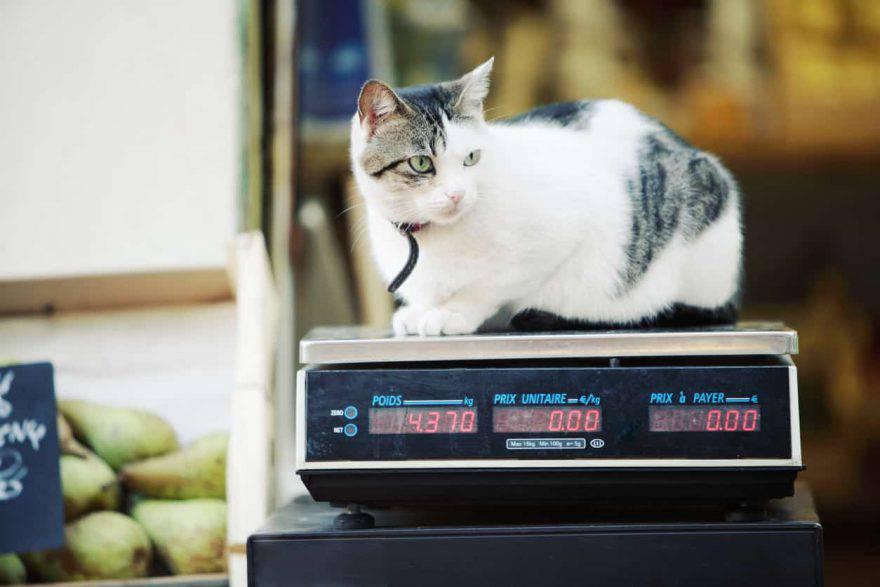 peso ideale gatto