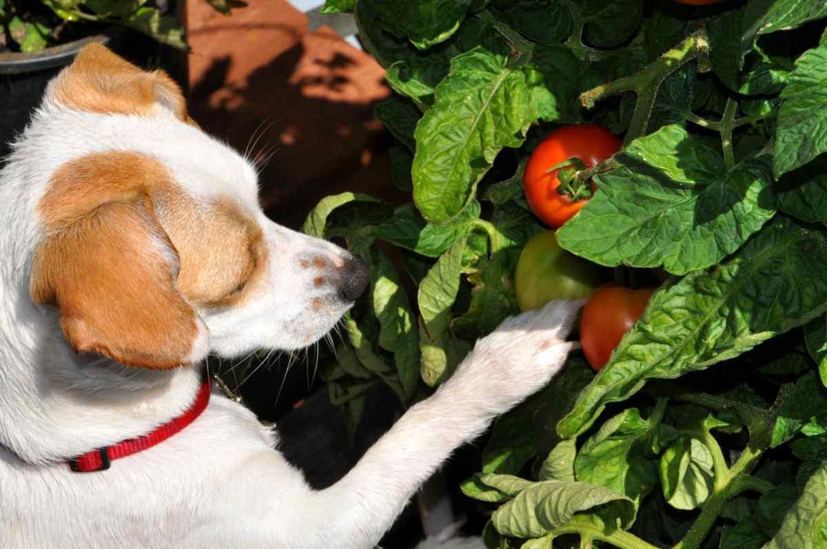 cane pomodoro