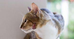 curare ferita gatto