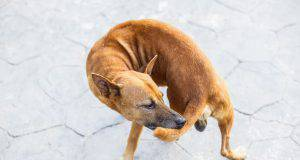 cane coda