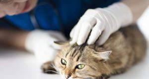 pulire orecchie gatto