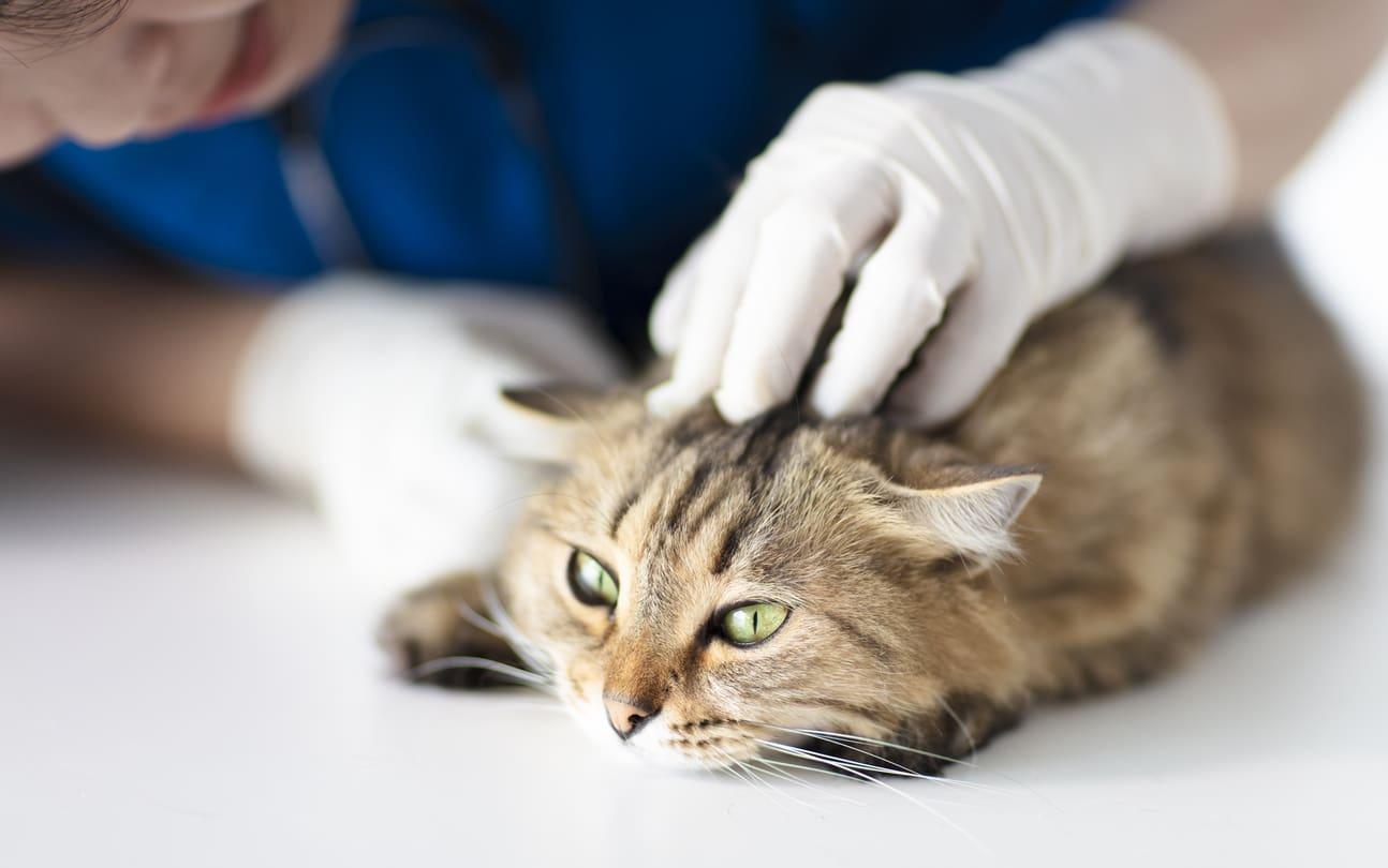 Ferite da corpi estranei nei gatti