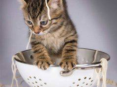 gatto pasta