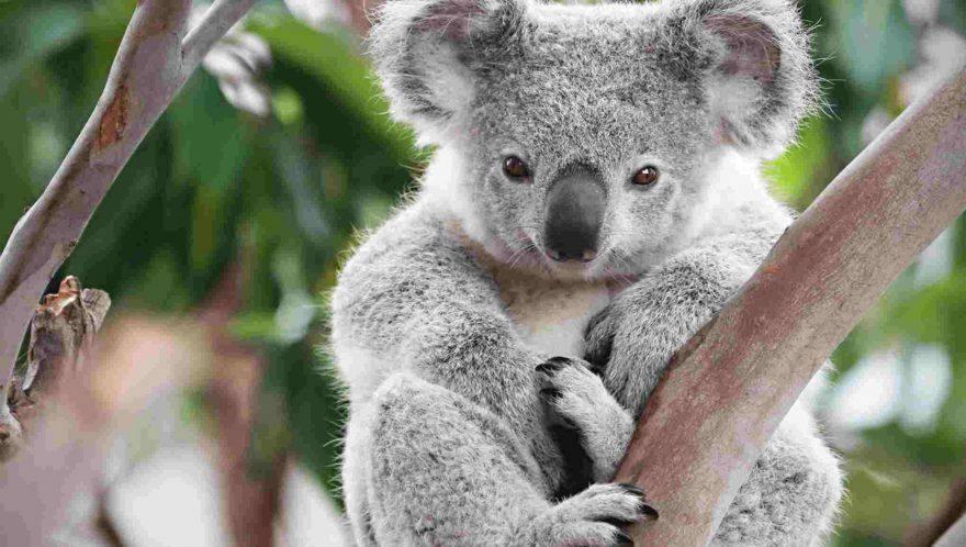 Incendio Australia: morte oltre 400 milioni di animali