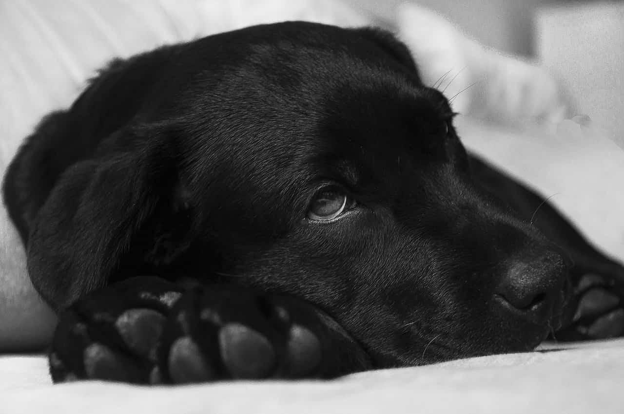 adenoma prostatico cane