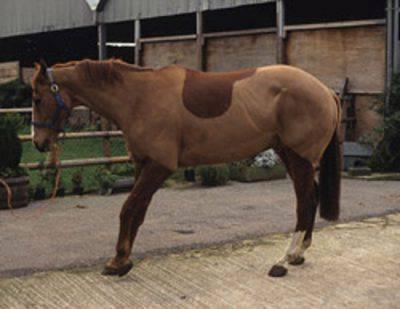 laminite cavallo