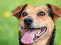 lingua del cane (fonte Pixabay)