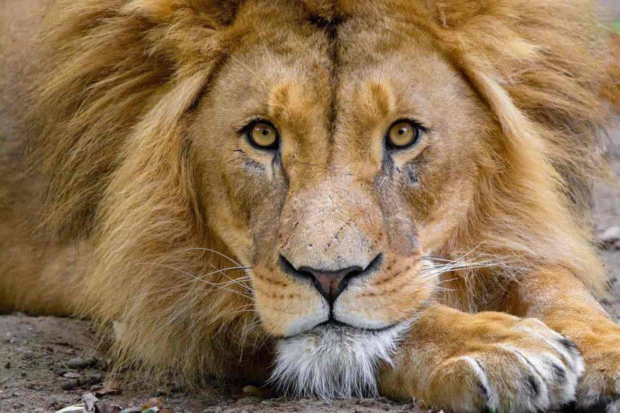 Grandi Felini Leone leoni africani