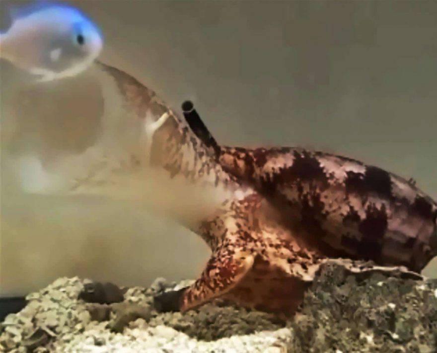 lumaca marina assassina