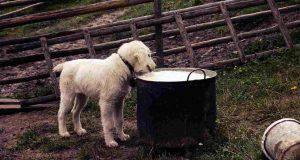 cane lattosio latte