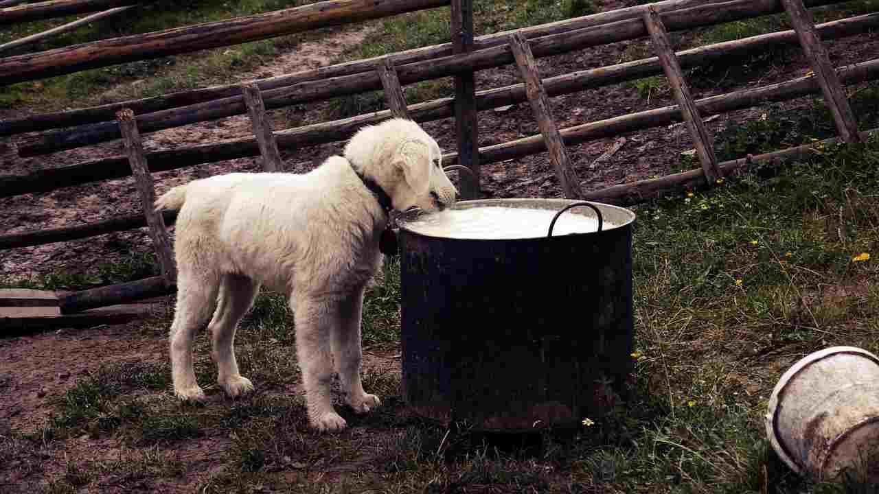 cane lattosio