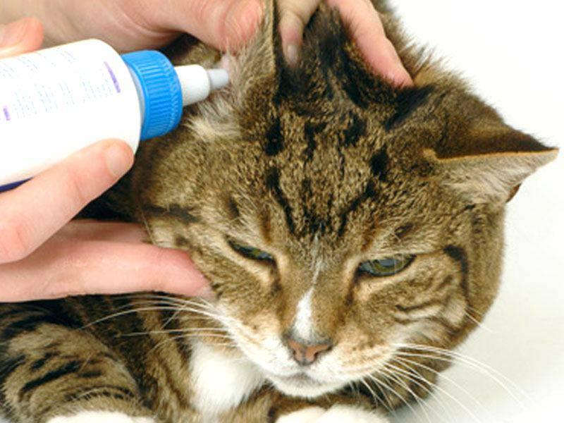 pulizia orecchio gatto