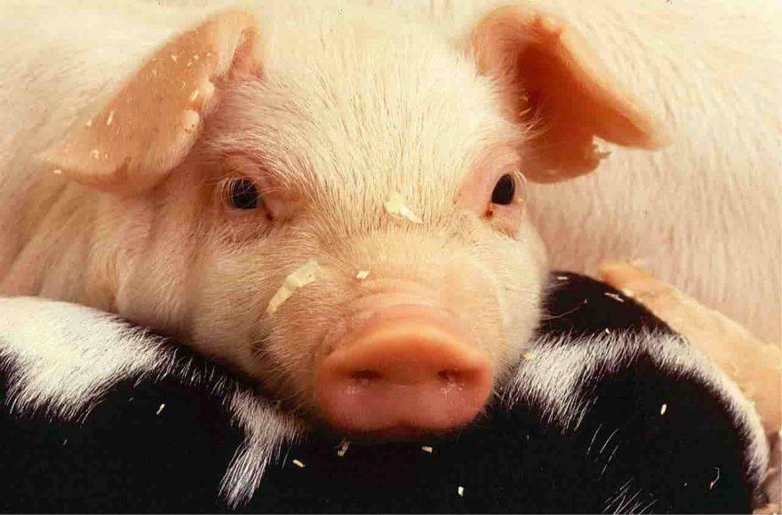 maiale in fattoria