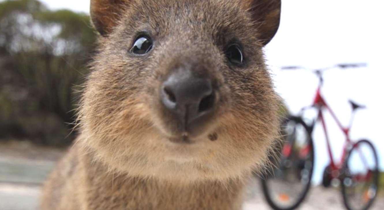 Wombat Lachen