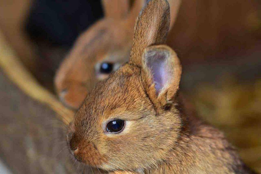Coniglio e lettiera