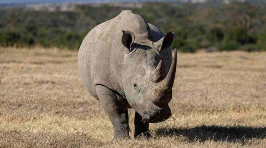 orologio rinoceronti