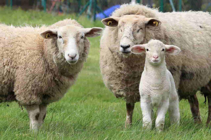 pecore agnelli
