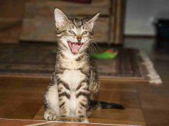 La lingua del gatto