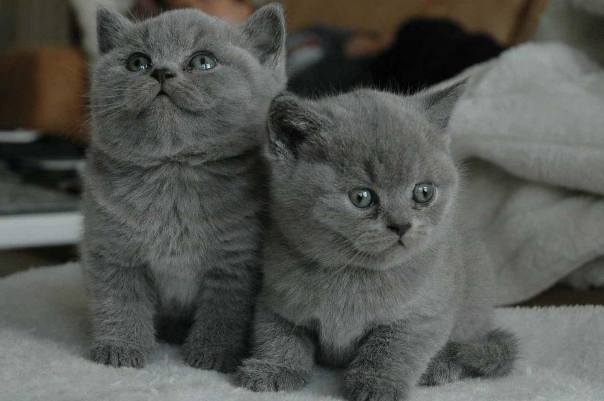 gatto a pelo grigio