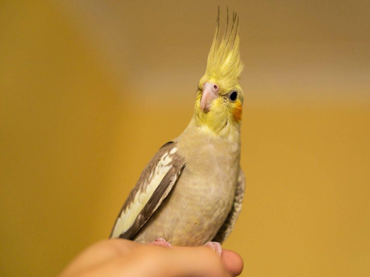 Come addomesticare un pappagallo cacatua: consigli utili (foto Pixabay)