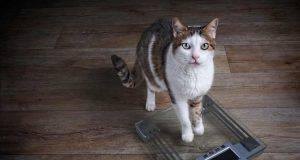 gatto dimagrito