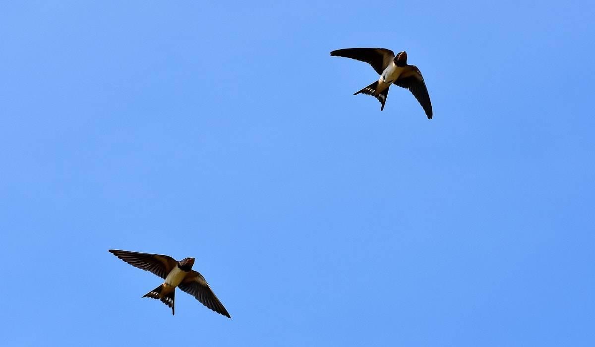 volo uccelli richiami suoni