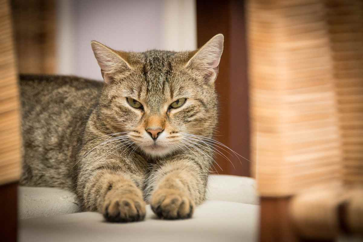 Gravidanza isterica nel gatto: sintomi, cause e rimedi (foto Pixabay)