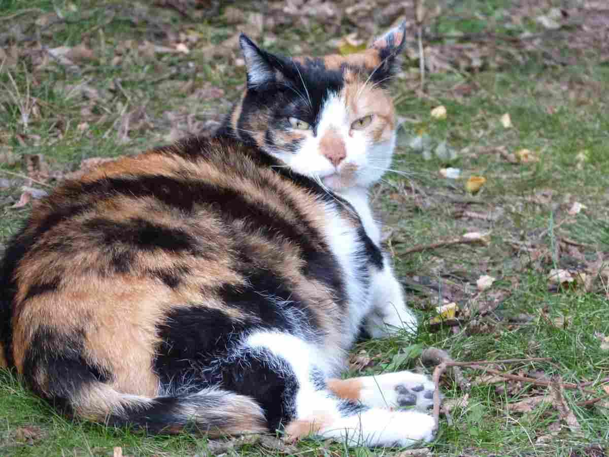 Gravidanza nel gatto: sintomi, cause e rimedi (foto Pixabay)