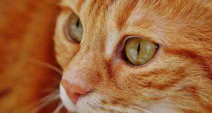 Occhio secco nel gatto: sintomi, cause e rimedi (foto Pixabay)