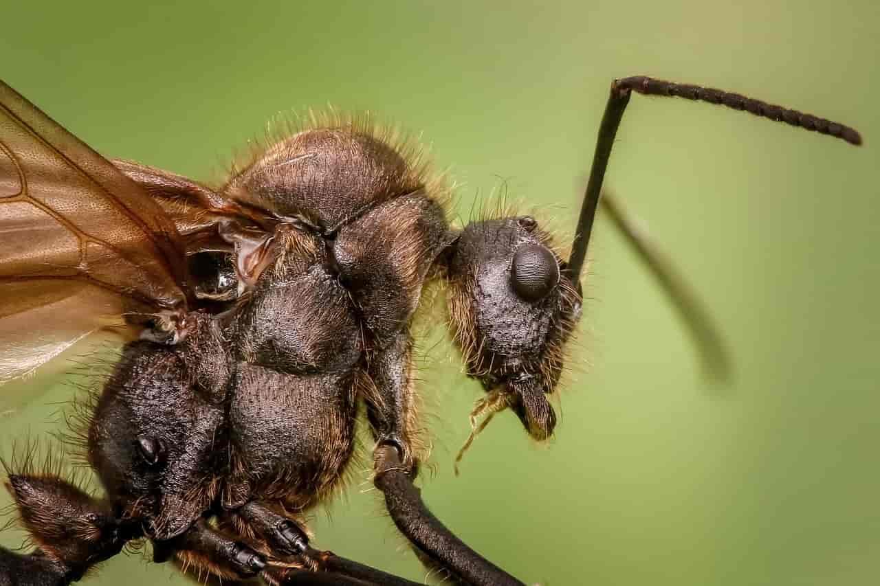 insetti pericolosi formica