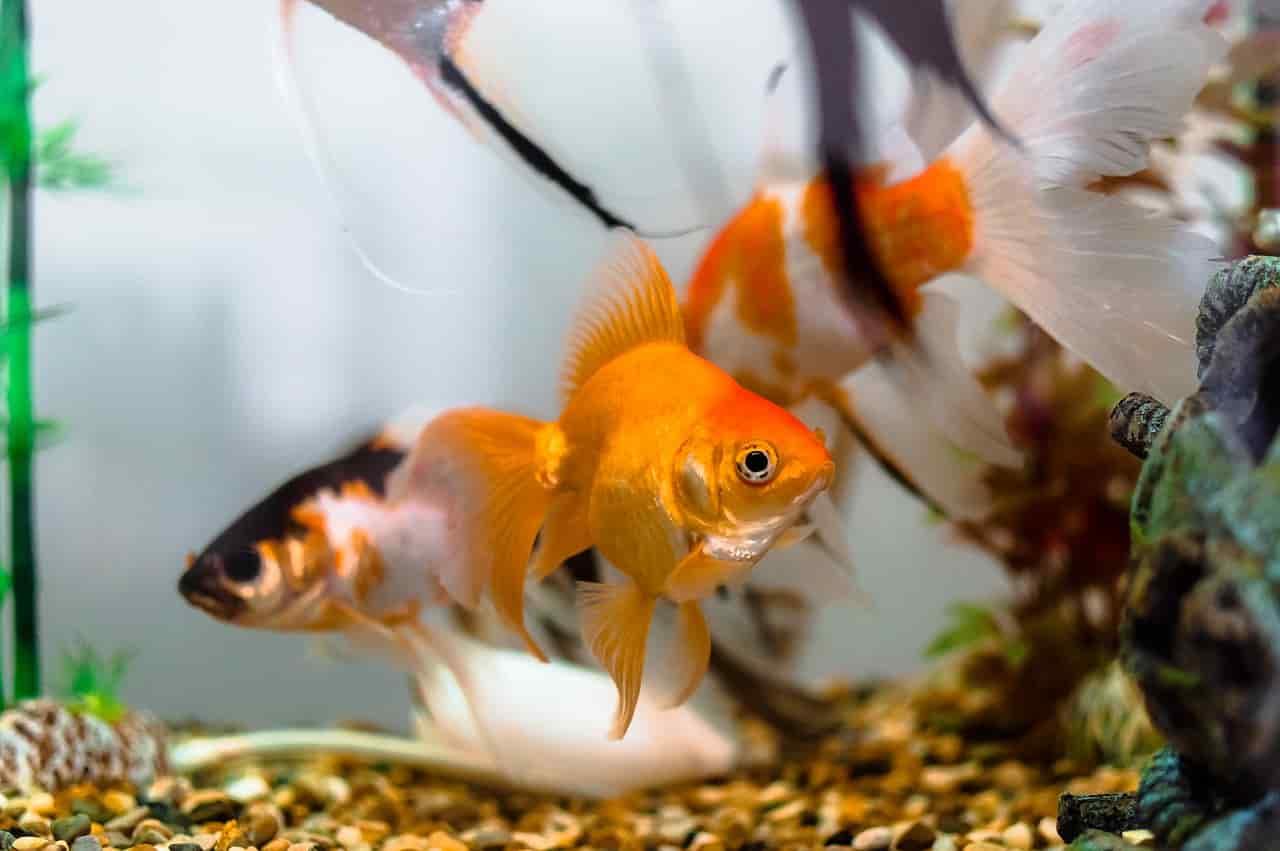 pesci si rincorrono accoppiamento