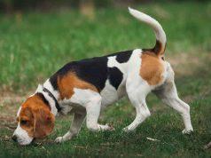 Cani condrodistrofici Beagle