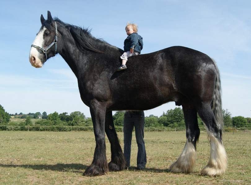 cavalli più alti