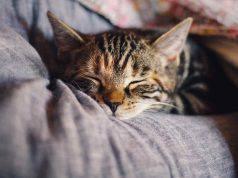 bronchite nel gatto (foto Pixabay)