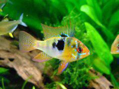 cura pesci rossi